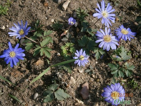 Anemona blanda - Page 4 A_22_025