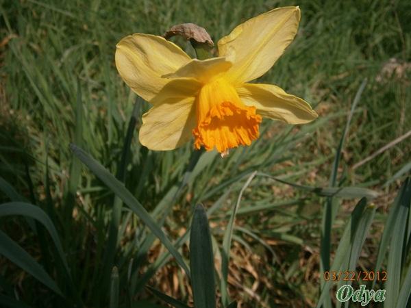 NARCISSES 2012 A_22_032