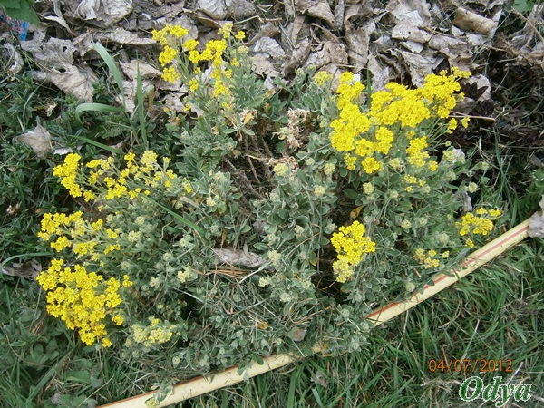 Corbeille d'or, Allyssum saxatile A_a7_020