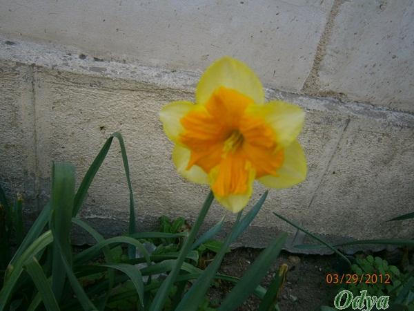 NARCISSES 2012 Ajm_0713