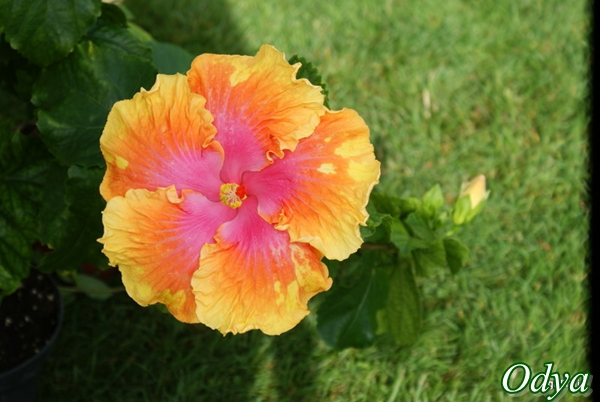 Hibiscus rosa sinensis - Page 5 Dsc04811