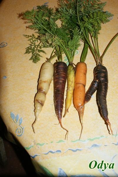 semis de carottes Dsc06110