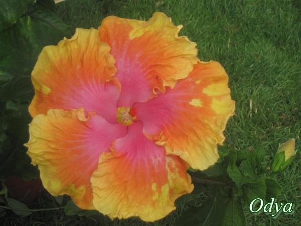 Hibiscus Img_0010