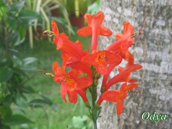 quelle est cette plante ? réponse : Tecomaria capensis Img_0015