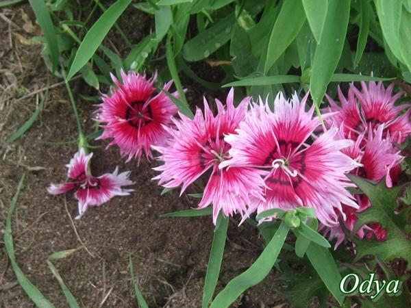 Oeillet de Chine (dianthus sinensis) Img_0033