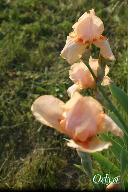 Iris.......déplacement !!! Mai_2071