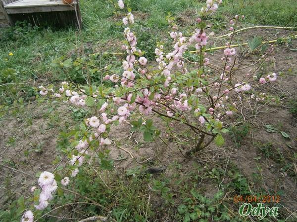 Prunus - Page 2 P4040010