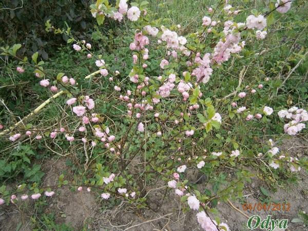 Prunus - Page 2 P4040011