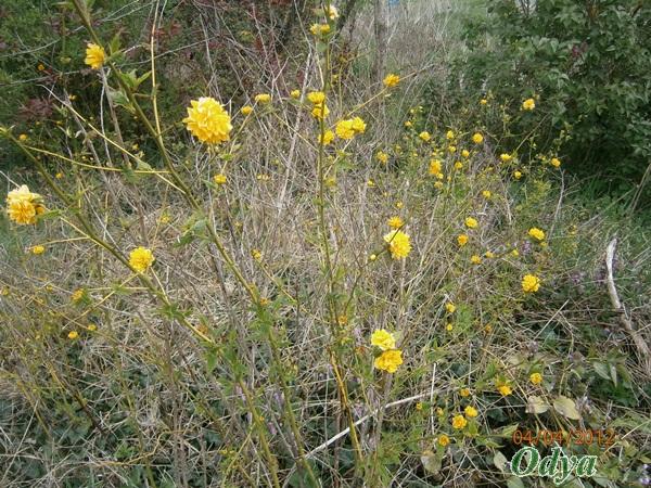 Kerria japonica P4040013