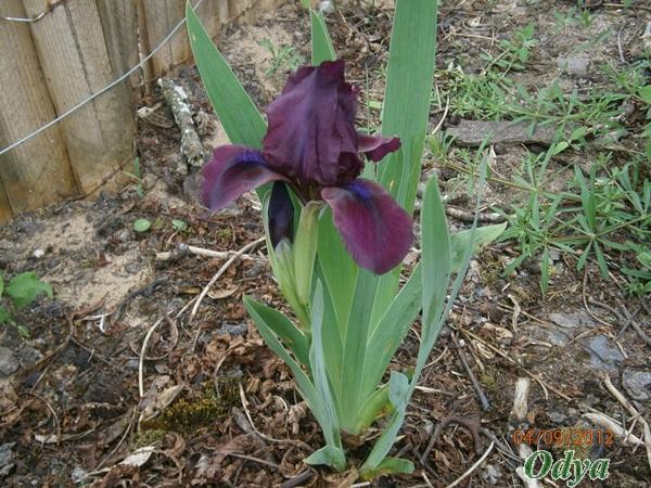 Iris 2012 P4090010
