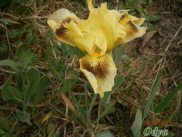 Iris 2012 P4090012