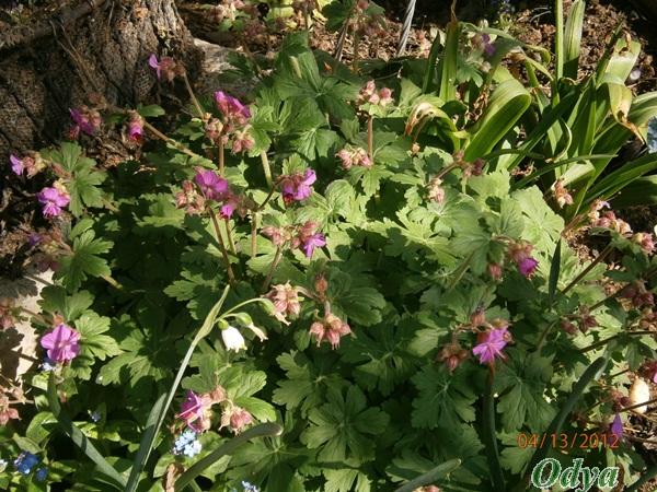 pour les amoureux des géraniums vivaces P4130011