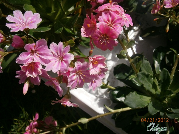 Lewisia cotyledon - Page 6 P4210021