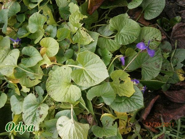 Les violettes - Page 4 Pc200011