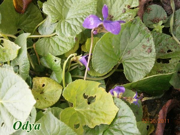 Les violettes - Page 4 Pc200012