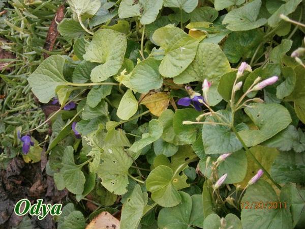 Les violettes - Page 4 Pc200013