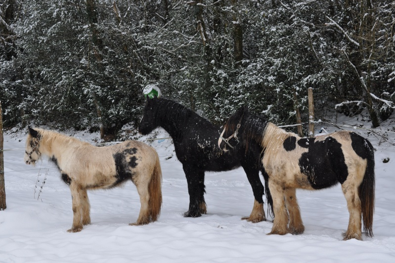 """Votez pour""""  L' irish cob dans la neige """" Dsc_0147"""