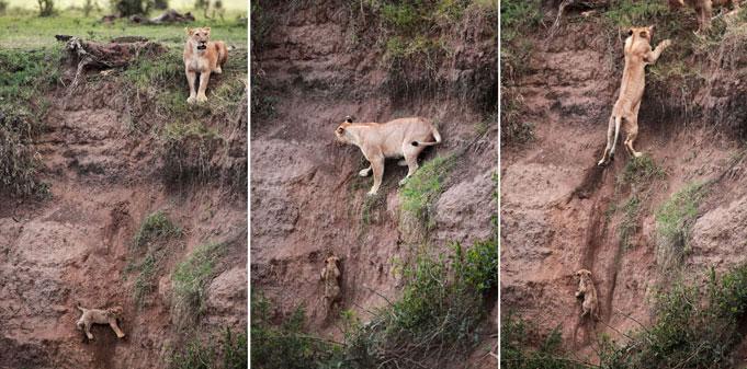 le lion sauvant le lionceau impuissant,  de la mort Att00010