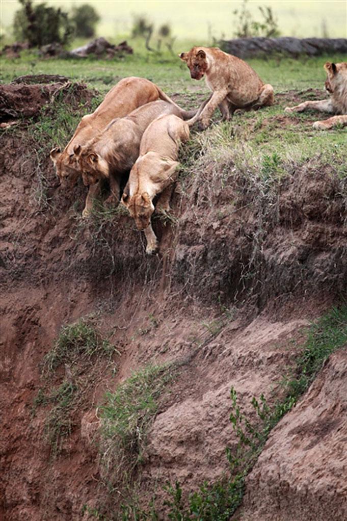 le lion sauvant le lionceau impuissant,  de la mort Att00011