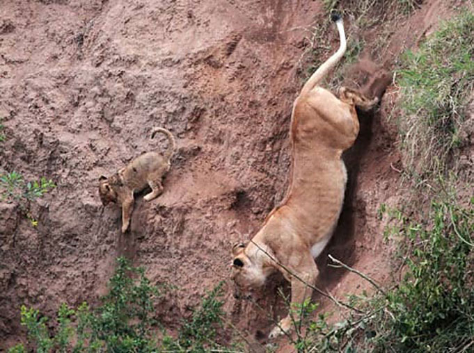 le lion sauvant le lionceau impuissant,  de la mort Att00012