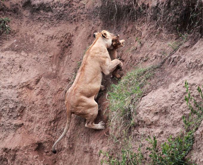 le lion sauvant le lionceau impuissant,  de la mort Att00013