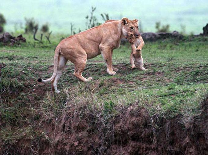 le lion sauvant le lionceau impuissant,  de la mort Att00014