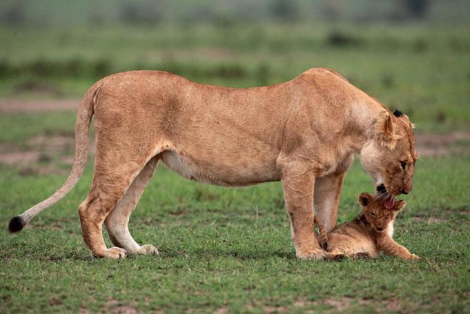 le lion sauvant le lionceau impuissant,  de la mort Att00015