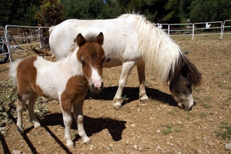 Un mini cheval de un mois et une jument de 1 mois aussi ... Dsc04610