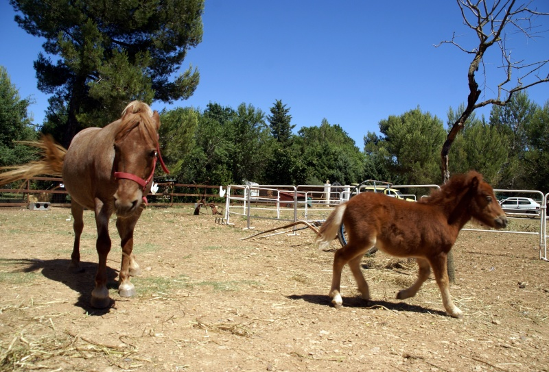 Un mini cheval de un mois et une jument de 1 mois aussi ... Dsc04611