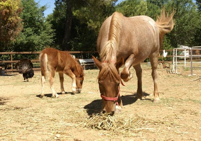 Un mini cheval de un mois et une jument de 1 mois aussi ... Dsc04612