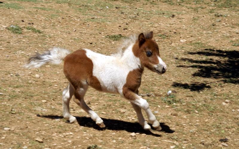 Un mini cheval de un mois et une jument de 1 mois aussi ... Dsc04710