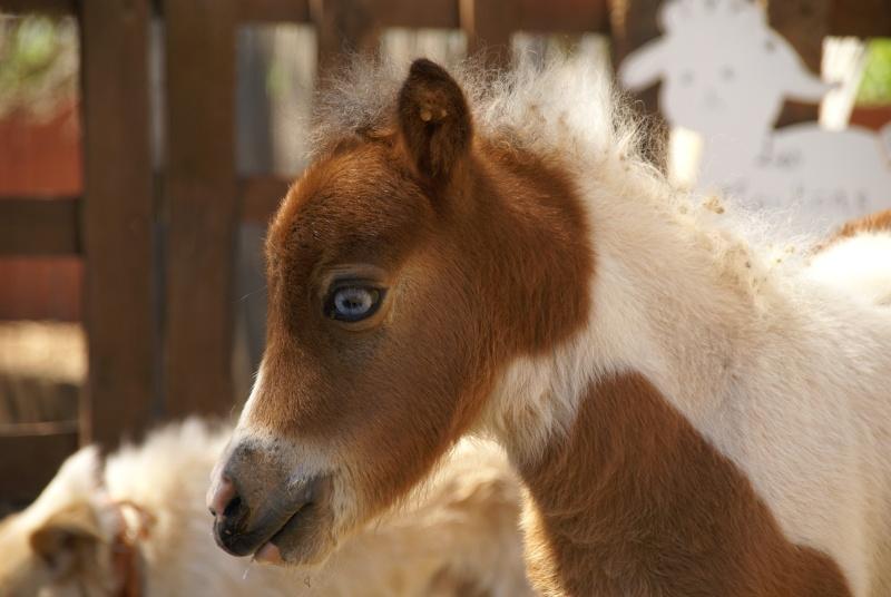 Un mini cheval de un mois et une jument de 1 mois aussi ... Dsc04711