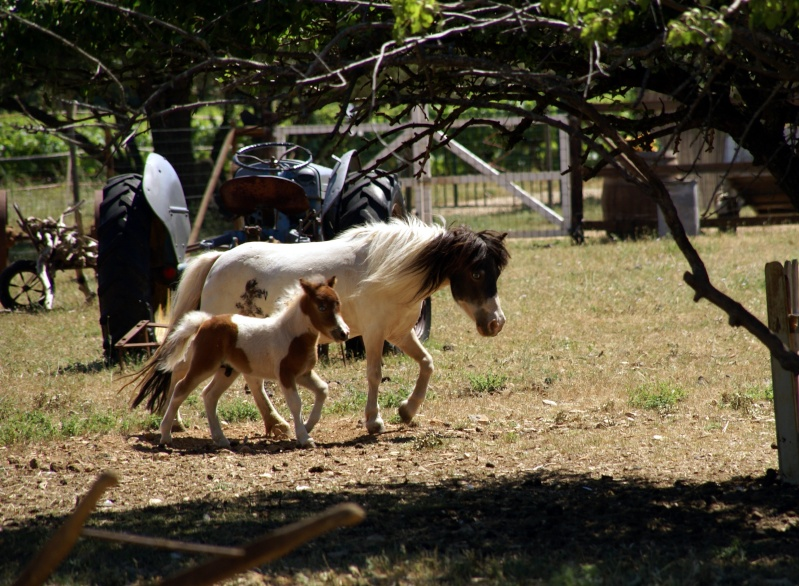 Un mini cheval de un mois et une jument de 1 mois aussi ... Dsc04712