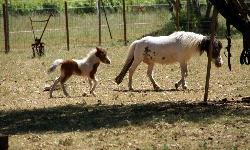Un mini cheval de un mois et une jument de 1 mois aussi ... Dsc04713