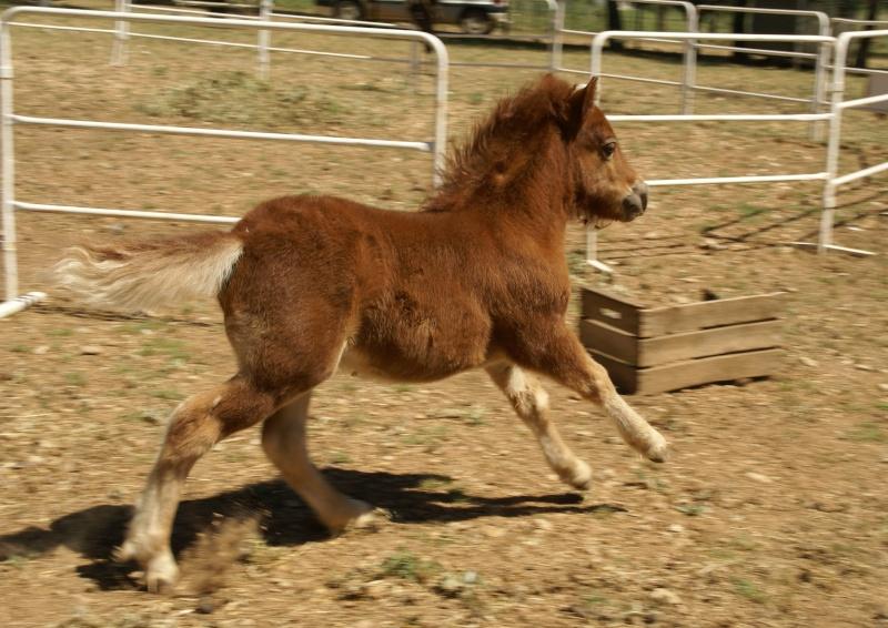 Un mini cheval de un mois et une jument de 1 mois aussi ... Dsc04714