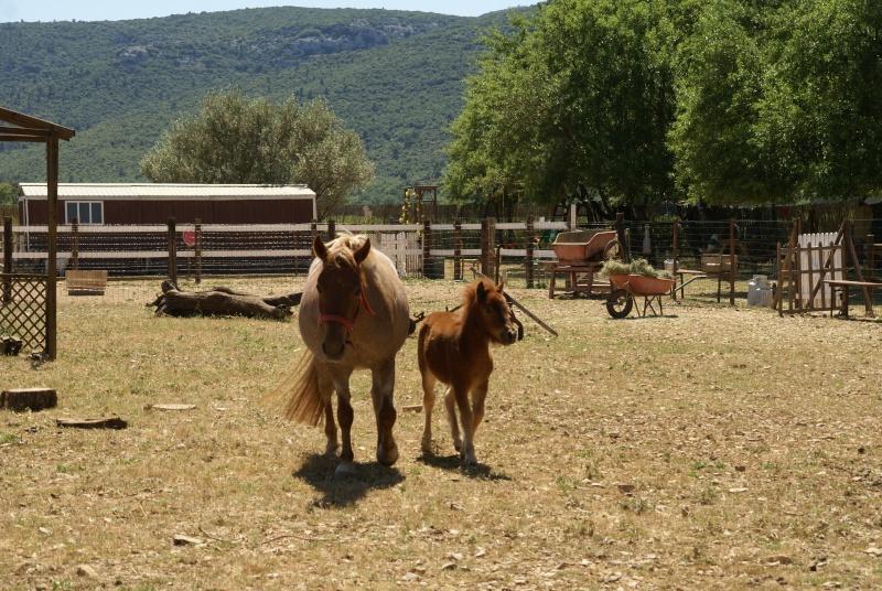 Un mini cheval de un mois et une jument de 1 mois aussi ... Dsc04715