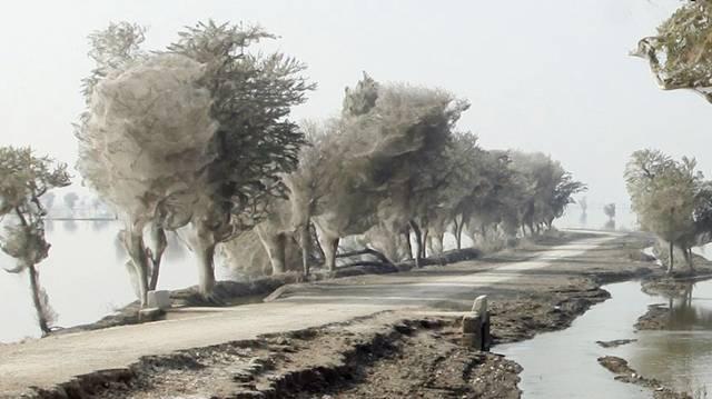 PAKISTAN - Arbres aux Araignées Image015