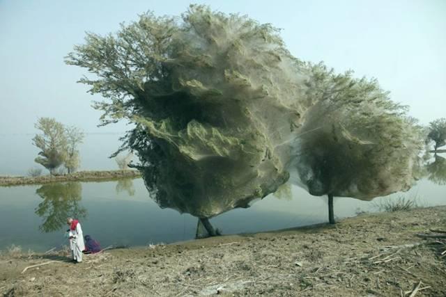 PAKISTAN - Arbres aux Araignées Image017