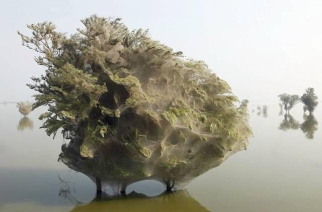 PAKISTAN - Arbres aux Araignées Image019