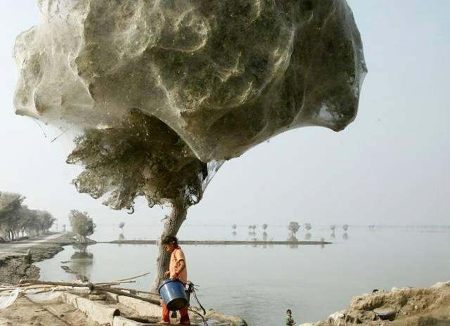 PAKISTAN - Arbres aux Araignées Image020
