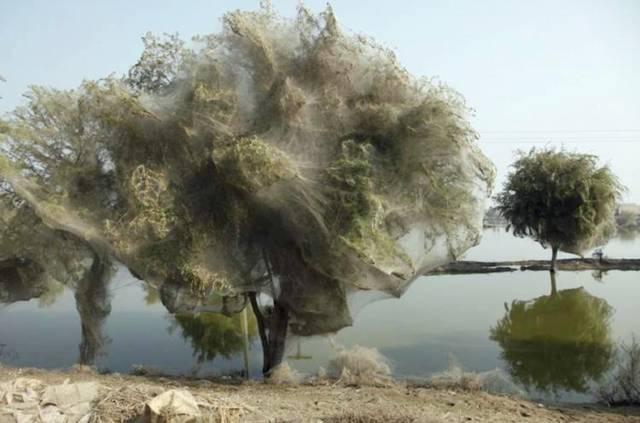 PAKISTAN - Arbres aux Araignées Image023