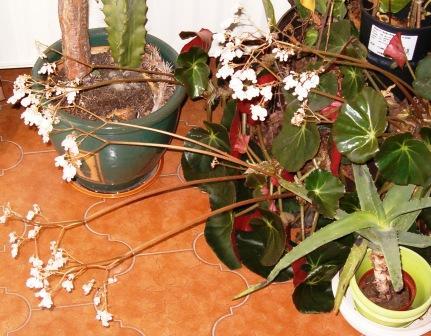 Bégonia x Erythrophylla Bagoni11