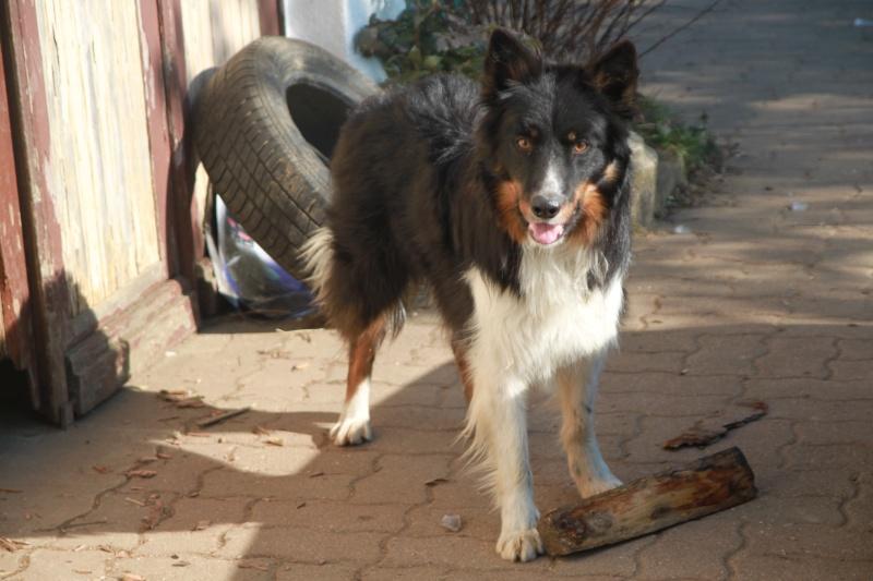 Bonjour a tous , une passionée des chiens plus particulierement des Border  Img_7415