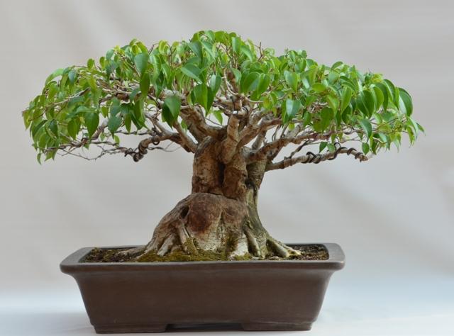 Ficus Benjamina history F_benj13