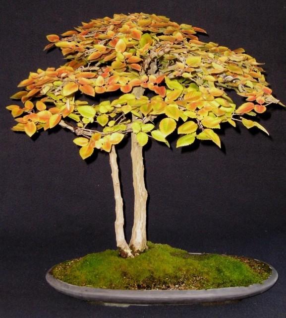 Show us your Carpinus species Horbea10