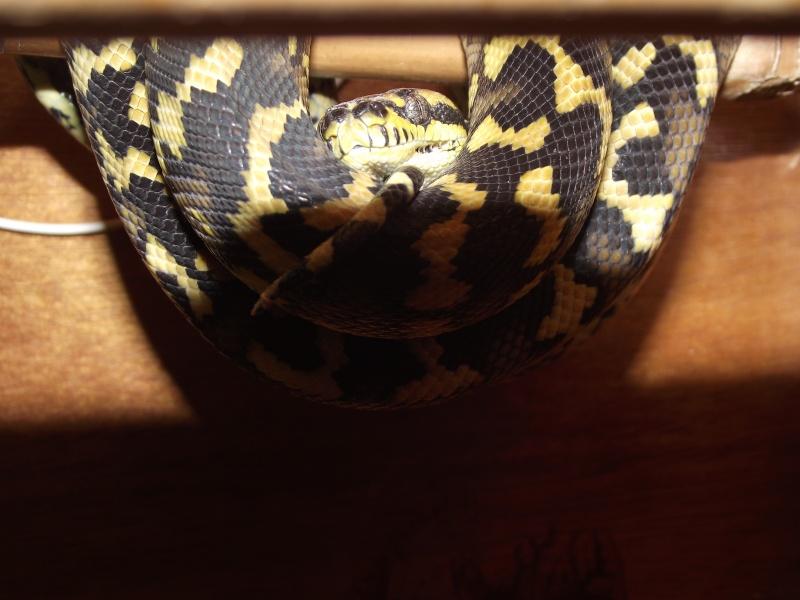 Mes python Morelia spilota et regius  Dscf3038