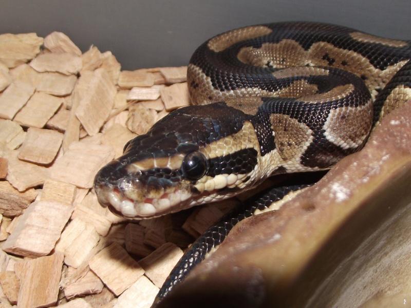 Mes python Morelia spilota et regius  Dscf3039