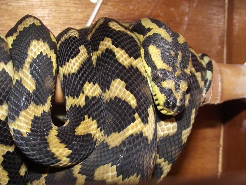 Mes python Morelia spilota et regius  Dscf3129