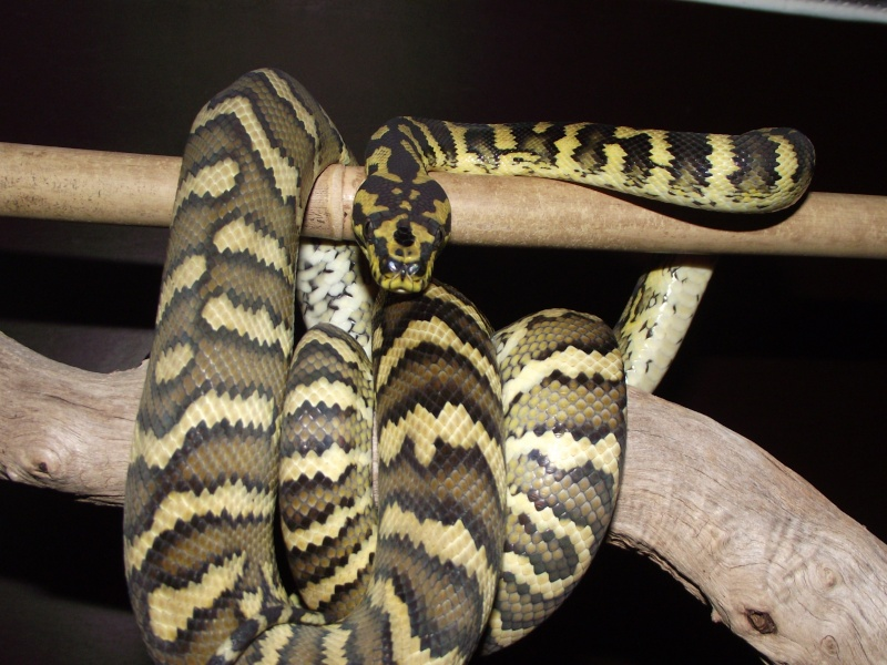 Mes python Morelia spilota et regius  Dscf3228