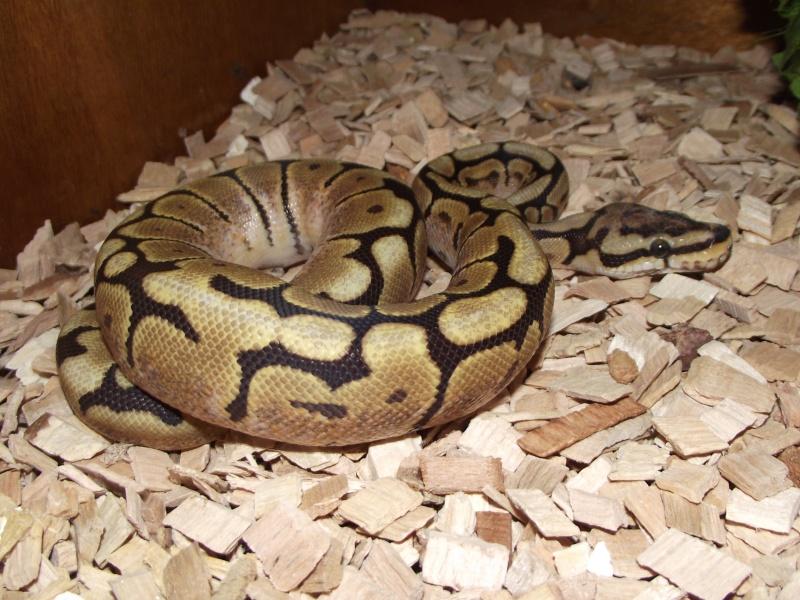 Mes python Morelia spilota et regius  Dscf3229
